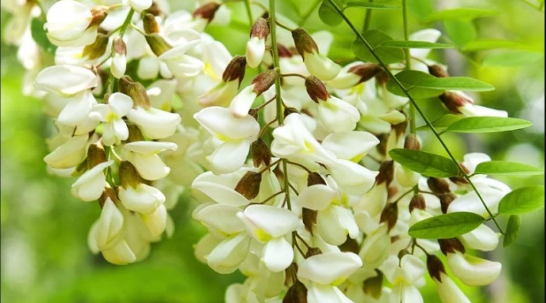confettura-con-fiori-di-acacia-e-tartufo-scorzone